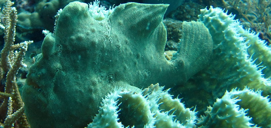 Staytravelling Borneo Frogfish