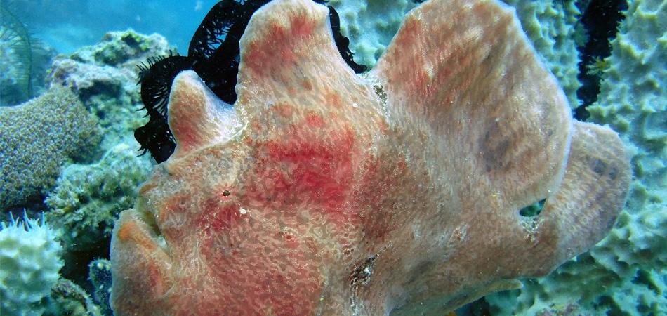 Staytravelling Mantabuan Frogfish