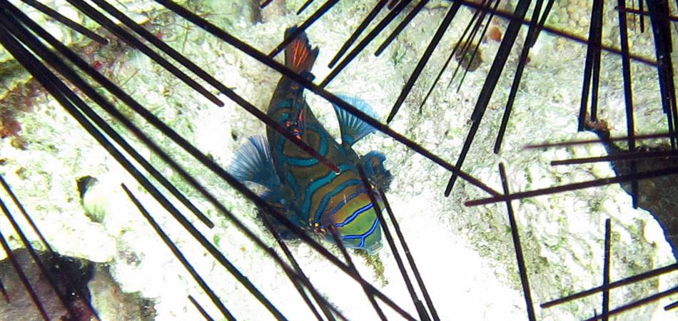 Staytravelling Sibuan Mandarin Fish