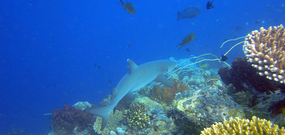 Staytravelling Sipadan White Tip Reef Shark
