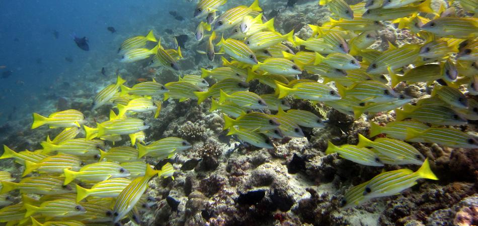 Staytravelling Baa Atoll Tauchpaket Malediven