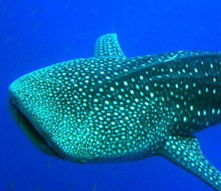Walhai Schnorcheln – 4 Tage