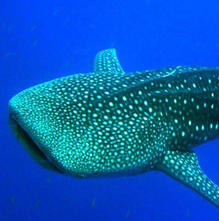 Staytravelling Malediven Urlaub Walhai