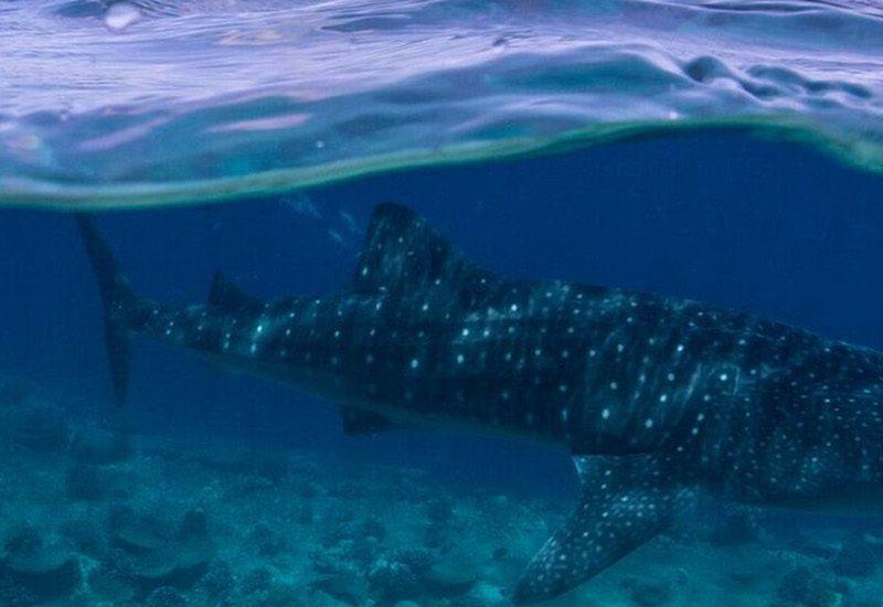 Staytravelling Malediven Walhai HS