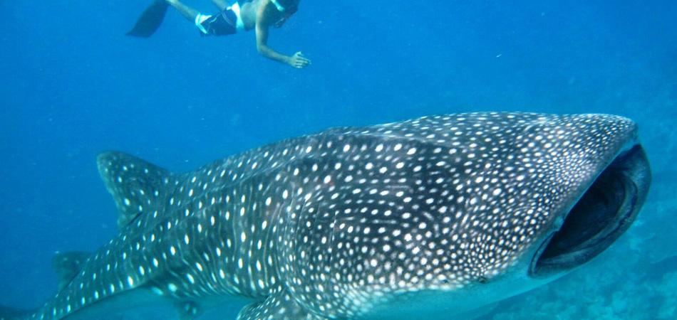 Staytravelling Malediven Walhai Schnorcheln