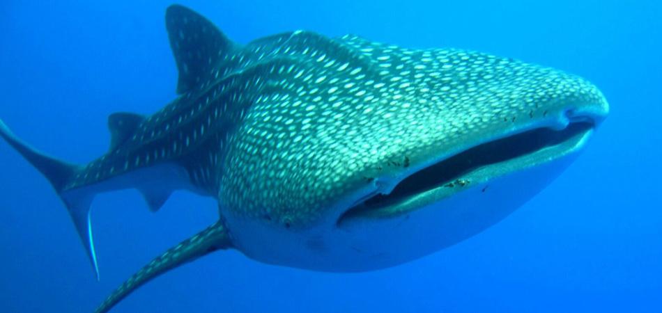 Staytravelling Malediven Whaleshark G