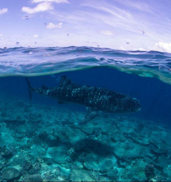 Staytravelling Malediven Walhai