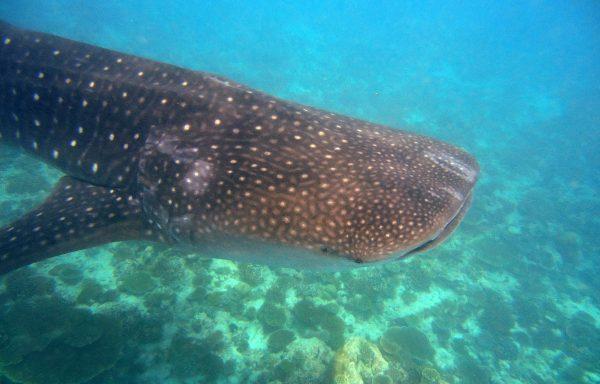 Walhai Schnuppertauchen – 5 Tage