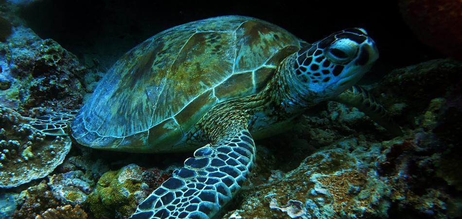 Staytravelling Malediven Dhangethi Schildkroeten