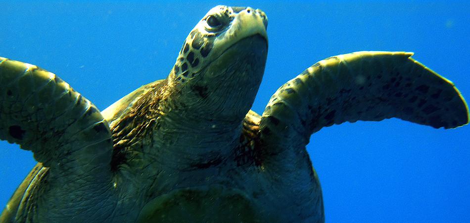 Staytravelling Malediven Schildkroeten Schnorcheln