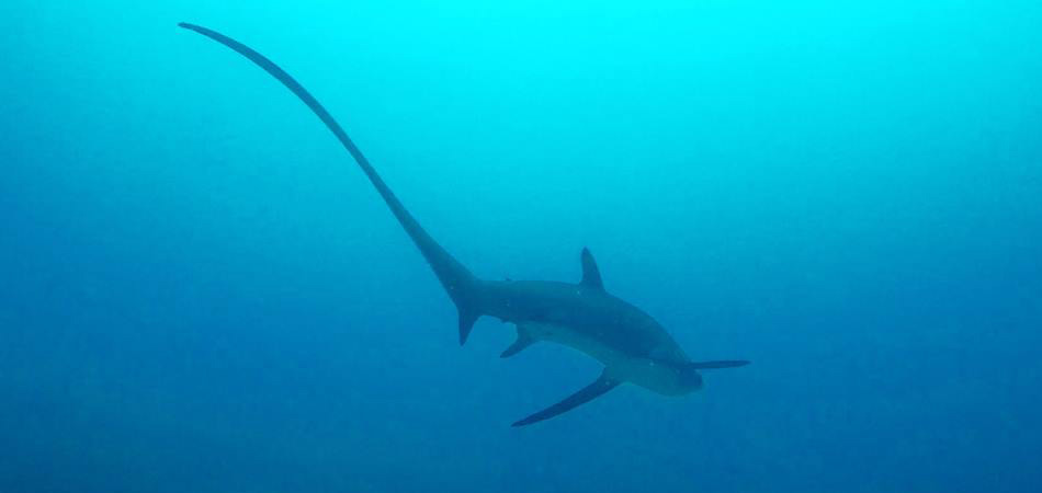 Staytravelling Thresher Shark Diving