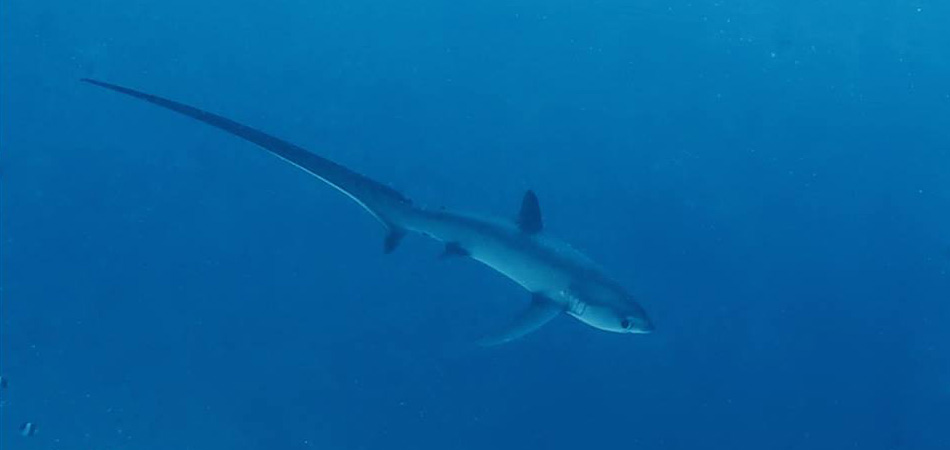 Staytravelling Thresher Shark Tauchen Malediven