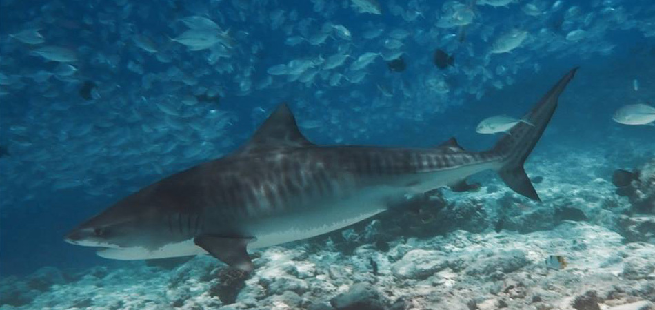 Staytravelling Tiger Shark Diving Malediven