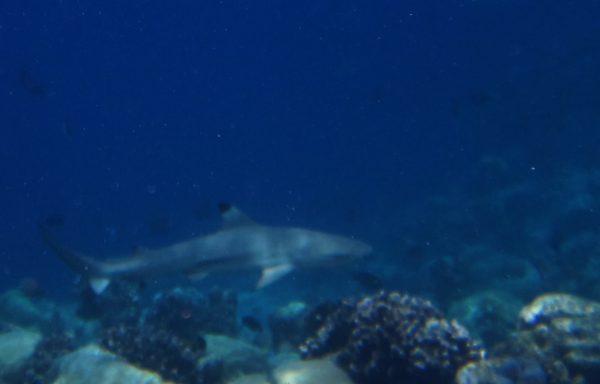 Schnorcheln mit Riffhaien – 4 Tage