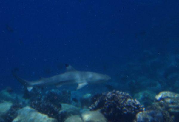 Staytravelling Riffhai Schnorcheln Malediven