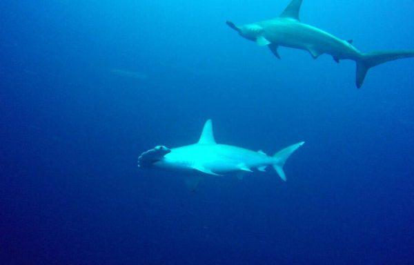 Hammerhai Tauchen – 5 Tage