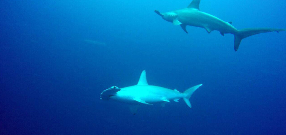 Staytravelling Hammerhead Diving