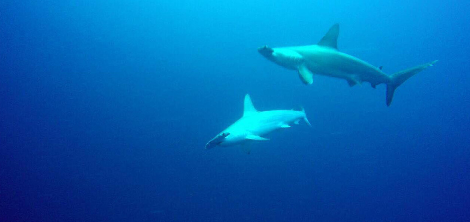 Staytravelling Malediven Hammerhead Diving