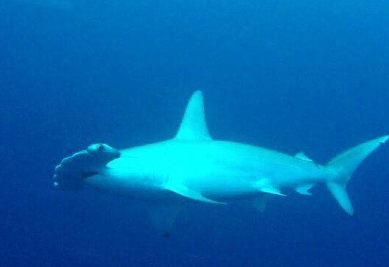 Staytravelling Malediven Hammerhead Sharks