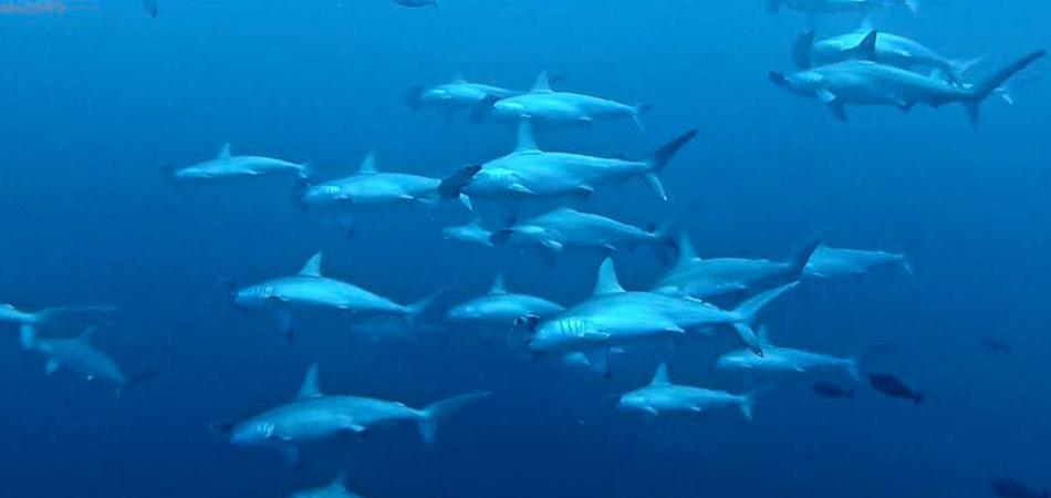 Staytravelling Fuvahmulah Dives Hammerhead